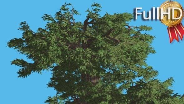 Thumbnail for Western Juniper Top of Crown Fluttering Leaves