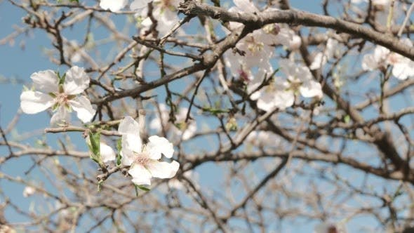 Thumbnail for The First Signs of Spring. Blossoming Tree.