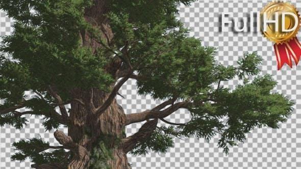 Thumbnail for Western Juniper Fluttering Leaves Swaying