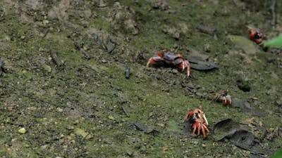 Close up Fiddler crab