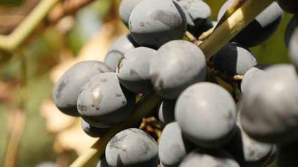 European Vitis vinifera fruit culture  and golden leaves food slow tilt 2160p 30fps UltraHD footage