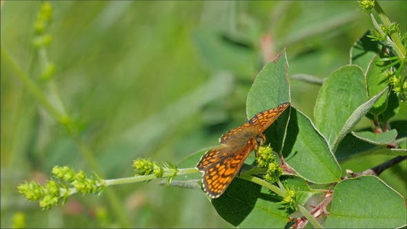 Thumbnail for A Brown Orange Butterfly on the Plant