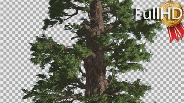 Thumbnail for Western Juniper Tall Tree Fluttering Leaves