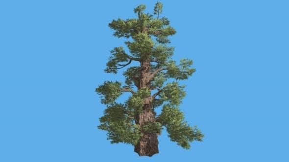 Western Juniper Cone-Shaped Trunk Coniferous