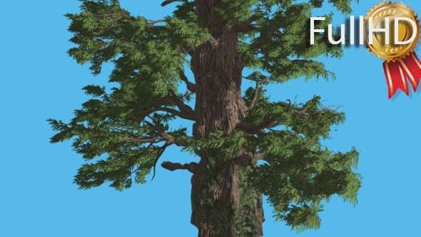Thumbnail for Western Juniper Strong Trunk and Fluttering
