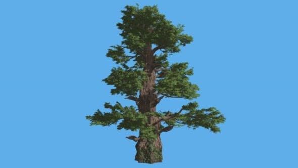 Thumbnail for Westernwacholder hoher Baum Sonnenstrahlen Schatten