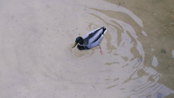 Thumbnail for The Duck Dives Into Water