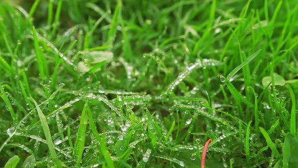Thumbnail for Grass and Leaves with Dew