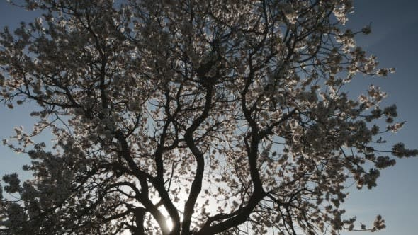 Thumbnail for Silhouette Flowering Tree With Nest