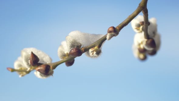 Thumbnail for Willow Buds Covered With Snow