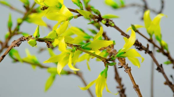 Thumbnail for Yellow flowers of Forsythia Blooming