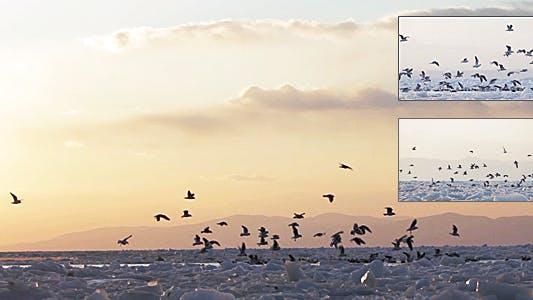 Thumbnail for Frozen Sea Gulls