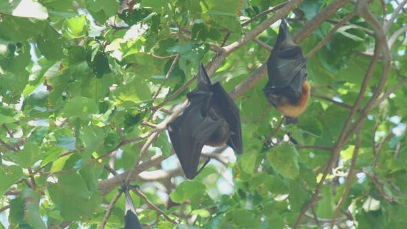 Thumbnail for Flying Fox Hangs On a Tree Branch