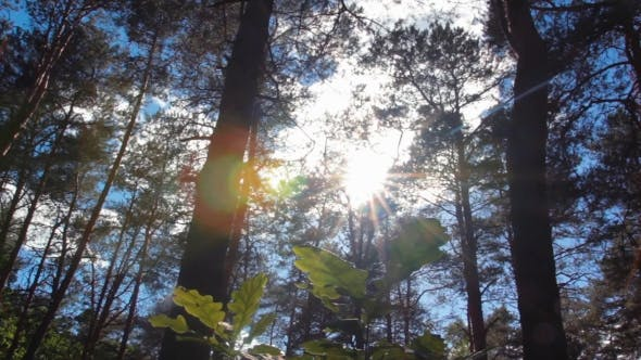 Thumbnail for The Sun Through The Trees In The Forest