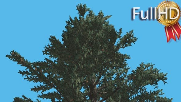 Thumbnail for White Fir Top of Fluttering Crown Coniferous