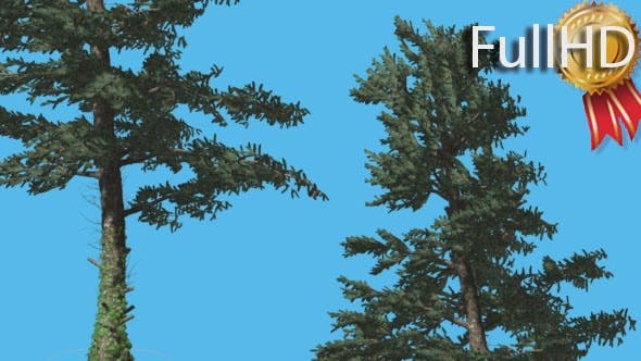 Thumbnail for White Fir Two Thin Trees Swaying Branches