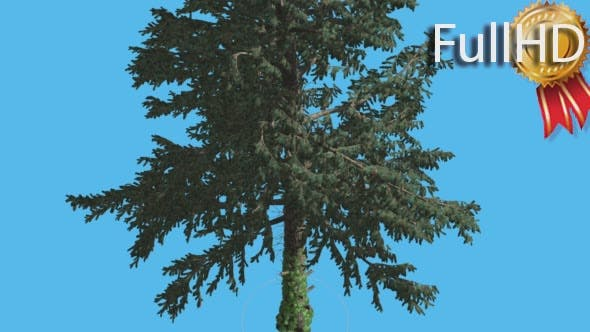 Thumbnail for White Fir at Strong Wind Swaying Branches