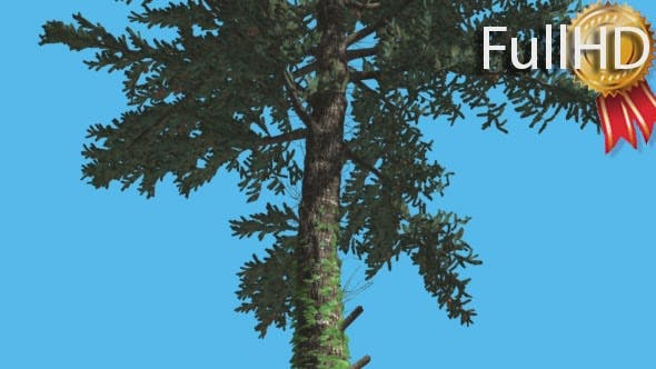 Thumbnail for White Fir Thin Trunk Branches Down up Coniferous