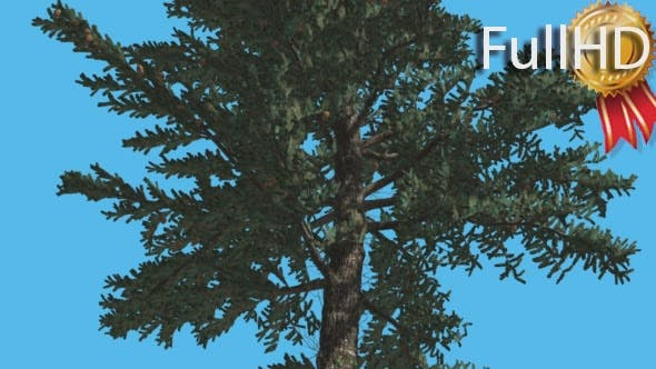 Thumbnail for White Fir Thin Trunk and Branches Down up
