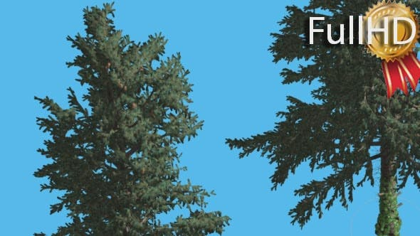 Thumbnail for White Fir Two Thin Trees Crown Swaying Branches