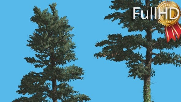 Thumbnail for White Fir Two Trees With Thin Trunks Coniferous