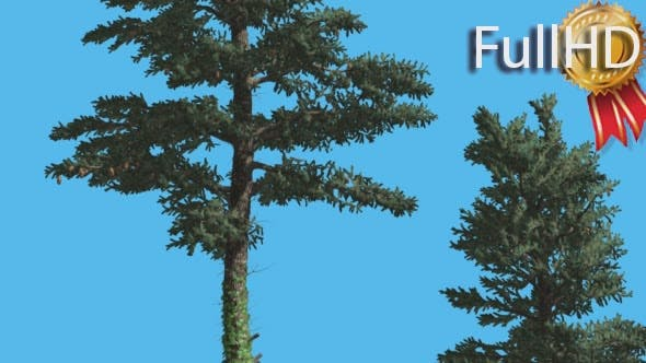 Thumbnail for White Fir Two Trees Firs With Fluttering Leaves