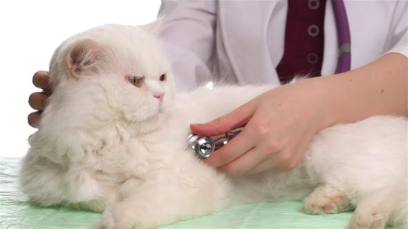 Thumbnail for Veterinarian Doctor Is Making a Check Up