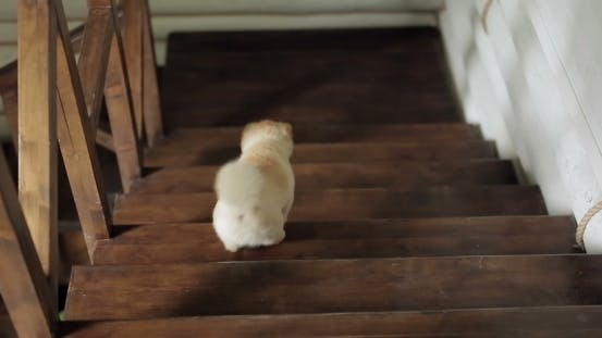 Thumbnail for Funny Dog Spitz Walking Downstairs