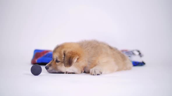 Thumbnail for Adorable Puppy Dog With Blanket Playing With Toy Ball On White Background 2