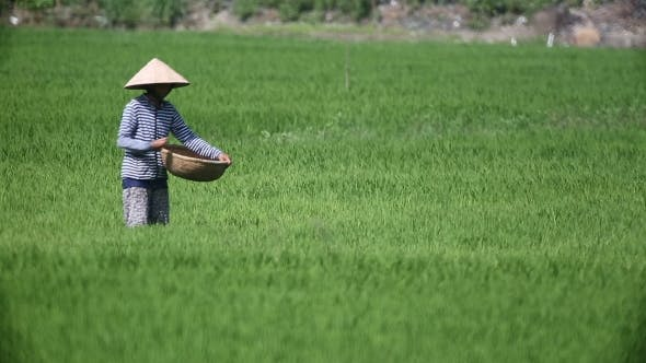 Cover Image for Vietnam Farmers Harvest Rice