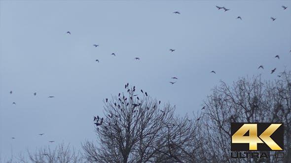 Flock Crow on Desolate Sky