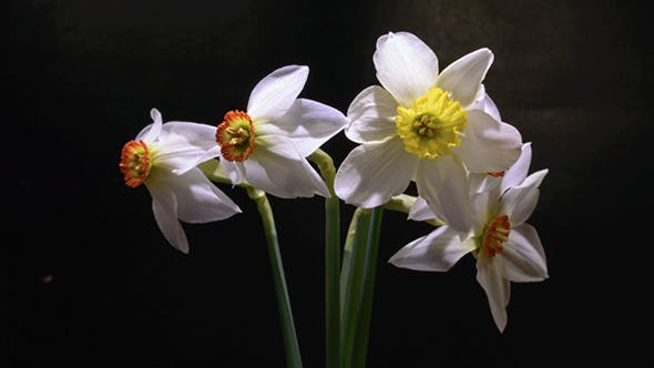 Thumbnail for White Daffodils Open Up Their Blossoms
