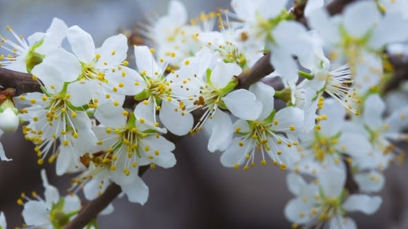 Thumbnail for Flowering Plum Tree Branches Swaying In The Wind