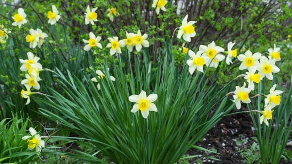 Thumbnail for Spring Yellow Flowering Narcissuses On A Green Grass