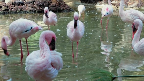 Thumbnail for A Flock Of Pink Flamingos