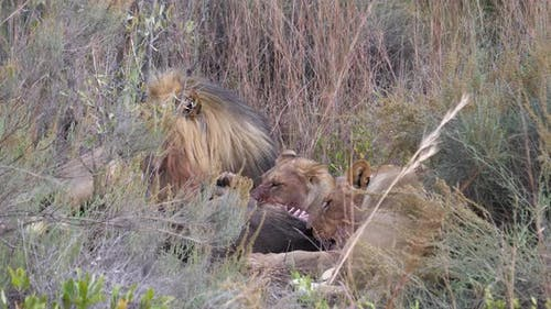 Lions eating from a wildebeest