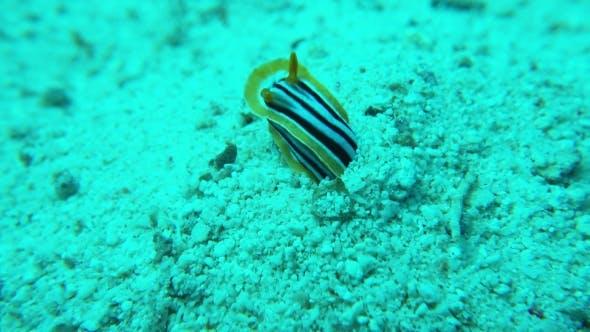 Thumbnail for Vibrant Sea Slug On Coral Reef