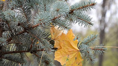 Yellow Leaves Among the Needles of Spruce