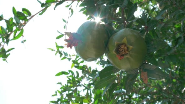 Thumbnail for Two Green Pomegranates