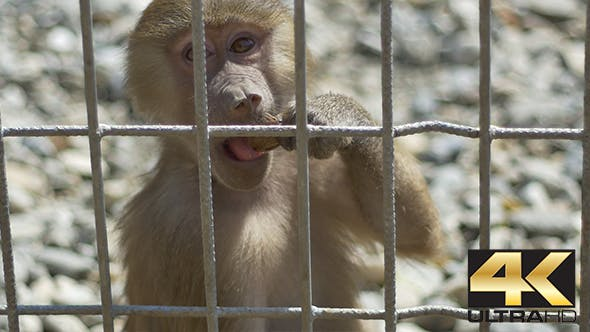 Little Monkey in Captivity