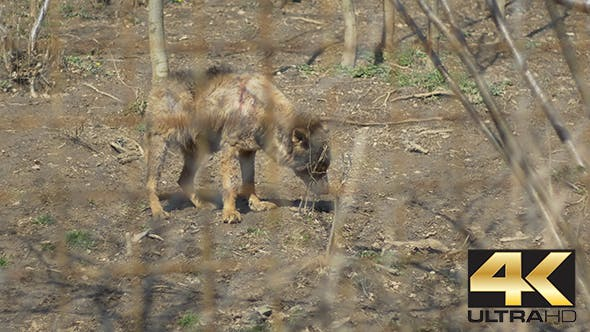 Thumbnail for Injured Wolf Baby in Captivity