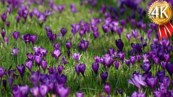 Thumbnail for Field of Blooming Crocuses in the Mountains