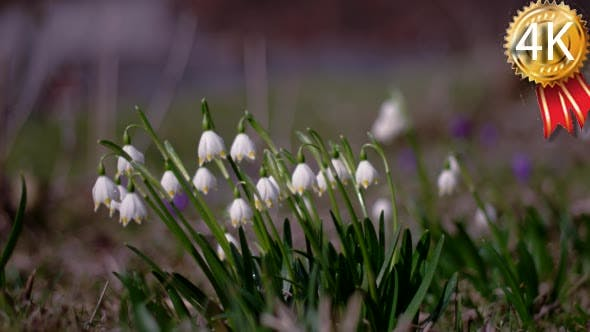 View of Bloomings Snowdrops in Early Spring