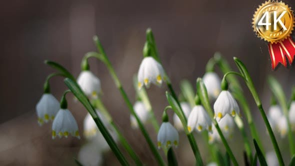 View of Bloomings Snowdrops in Spring