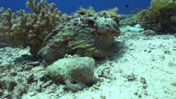 Thumbnail for Stonefish On Vibrant Coral Reef