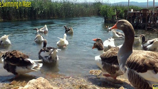 Thumbnail for Geese Swimming in Water