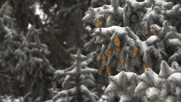 Thumbnail for Beautiful Snow-covered Fir Branches With Cones