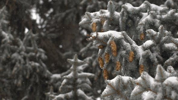 Thumbnail for Christmas Background. Beautiful Snow-covered Fir Branches With Cones. Soft Snows.
