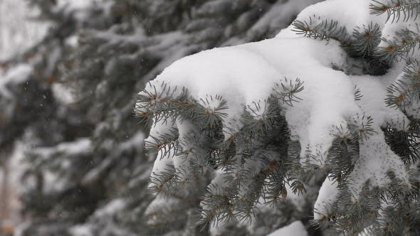 Thumbnail for Light Snowfall. Snow Covered Pine Tree Branches