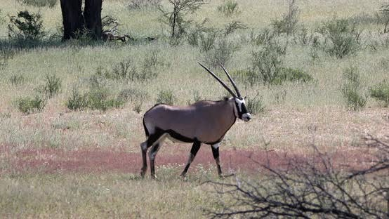 Gemsbok, Oryx gazella in Kalahari, South Africa safari wildlife